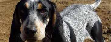 Do Bluetick Coonhounds Shed by Dog Lovers Blog Page 17 Of 39 Pet Paw