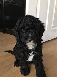 Cavapoos Do They Shed by F1b Cavapoo Puppy For Sale Northwich Cheshire Pets4homes