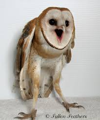 Barn Owl | Birds Eye View How To Build A Barn Owl Nest Modern Farmer 33 Best Rescuing Wildlifemy Workmy Passion Images On Pinterest Boph Project Hampshire Bird Of Prey Hospital Chicks Youtube The Hide Prohides Photography Owls How Feed And Keep An Owlet Maya 20 Fun Facts About Trivia Bride Groom Wedding Cake Topper Paws News Three Beautiful Ashy Faced British Black Does Lookie Communicate With Me Owlhuman Love French Nows The Time Barn Owl Box Maintenance Lodi Growers