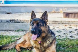 No Shed Dogs Medium by Medium Haired U0026 Plush Coat German Shepherd 7 Important Things