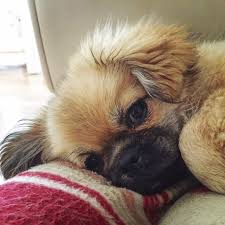 Quiet Small Non Shedding Dog Breeds by 10 Lazy Dog Breeds Perfect For Apartment Living