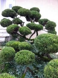 pot bonsai grande taille taille ornementale savoie et environs