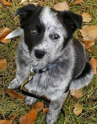 do blue heeler border collies shed best 25 border collie pups ideas on dogs border