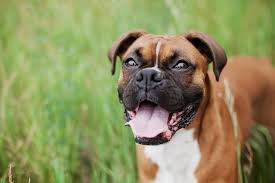 Do Bullmastiffs Shed A Lot by Essential 36 Breed Guide To Diy Dog Grooming From Roses Top Dog