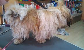 Shih Tzu Lhasa Apso Shedding by Dogs 101 The Groomer Said My Dog Is Matted What Does This Mean