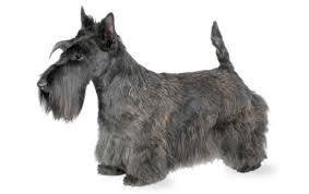 Border Terrier Non Shedding by Scottish Terrier Dog Breed Information Pictures Characteristics