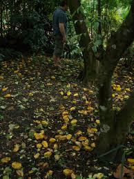 Star Fruit Tree Mounts Botanical Garden
