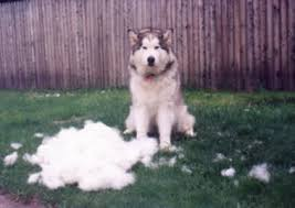 do huskies or malamutes shed more information about malamute shedding and care alaskan mar