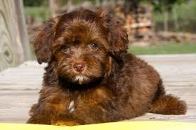 lhasa apso puppy shedding top 20 most cutest poodle mix breeds that you need to