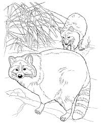 Two North American Raccoons Coloring Page From Category Select 27023 Printable Crafts Of Cartoons Nature Animals Bible And Many More