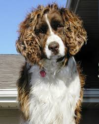 Springer Spaniel Shed Hunting by Welsh Springer Spaniel Breed Guide Learn About The Welsh