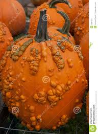 Connecticut Field Pumpkin by Pumpkin With Warts Stock Photography Image 22687312