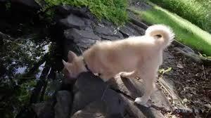 Do Pomskies Shed Fur by Pomskies Discover The Pond Pomsky Pomskie Puppies At Bowtie