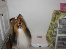 Sheltie Shedding In Clumps by Sheltie Nation Furminator Meets Sheltie