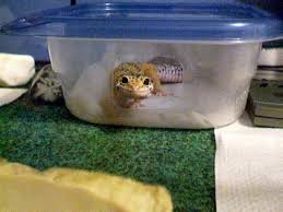 Do Leopard Geckos Shed by Whovian Fox An Overview To Caring For Leopard Geckos