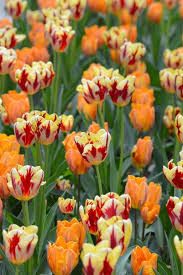 true flaming varieties tulip grand perfection combined with
