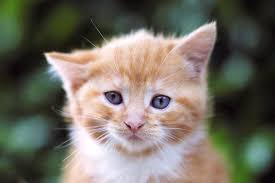 renal failure in cats failure in cats symptoms causes diagnosis treatment recovery