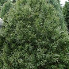 Types Of Christmas Trees With Sparse Branches by Types Of Trees Galehouse Tree Farm