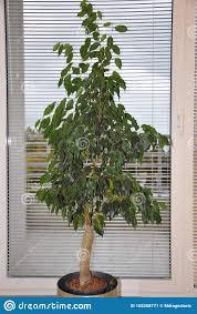 benjamin bäume im wohnzimmer ficus stockbild bild