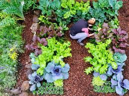 Cool Weather Ve able Plants HEBERT S GARDEN CENTER