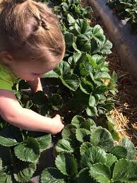 Underwood Pumpkin Patch Moorpark by Mops Field Trip Strawberry Picking At Underwood Family Farm