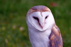 Free Images : Nature, White, Night, Animal, Wildlife, Wild ... White And Brown Barn Owl Free Image Peakpx Sd Falconry Barn Owl Box Tips Encouraging Owls To Nest Habitat Diet Reproduction Reptile Park Centre Stock Photos Images Alamy Bird Of Prey Tyto Alba Video Footage Videoblocks Barn Owl Tyto A Heart Shaped Face Buff Back Wings Bisham Group Bird Of Prey Clipart Pencil In Color British Struggle Adapt Modern Life Birdguides Beautiful Owls Pulborough Brooks The