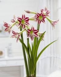 santiago amaryllis amaryllis
