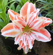 daylilies in australia hippeastrum plants bulbs daylilies in