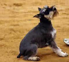 Do Giant Schnauzers Shed by Thinking Of Getting A Schnauzer Jones Natural Chews