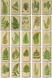ferns 1 collection of 222 vintage images spleenwort woodsia