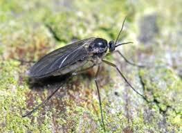 comment faire partir des moucherons dans une cuisine mouches du terreau sciarides pourquoi comment s en débarrasser