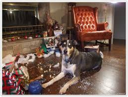 Stop Rat Terrier Shedding by Bringing Up Bella 2013