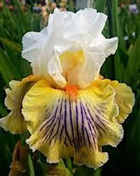 bearded iris k14 b 6 jc sdlg tweety yellow heavy