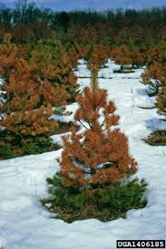 Evergreen Winter Damage – Learn About Treating And Preventing ... Evergreen Winter Damage Learn About Treating And Preventing Cheat With Low Tunnels Fall Leaf Burn Youtube Fire Pit Safety Maintenance Guide For Your Backyard Installit Outdoor Burning Nonagricultural Bay Leaves In The House And See What Happens After 10 Minutes Tips For Removing Poison Ivy Bush Insect Pests How To Identify Treat Bugs That Eat To Guidelines Infographic Dont Holly Hollies With Scorch Glorious Autumn My Minnesota Backyard Prairie Roots April Month Powell River Today