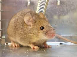 100 Mouse Apartment Get Rid Of Mice Popular Science Rodents Get Rid Of