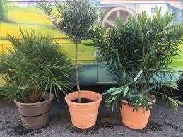 1 laurier 1 olivier 1 palmier 3 pots pour 100 www