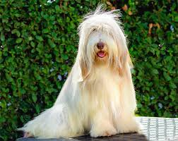 bearded collie dog breed information pictures characteristics