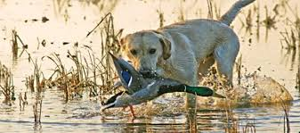 The Best Way To Train Your Dog For Hunting And Security