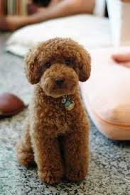 Non Shedding Dogs Small To Medium by Small Dog With Curly Hair The Best Curly Hair 2017