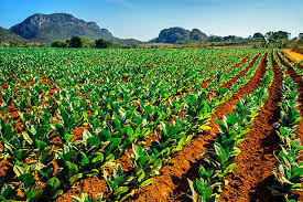 Tobacco Fields In Vinales Cuba Stock Photo More Pictures Of Agriculture
