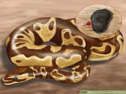 4 ways to care for your ball python wikihow