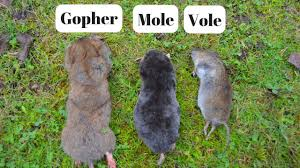 How To Identify If You Have Gophers, Moles, Or Voles Digging Up ... How To Get Rid Of Moles Organic Gardening Blog Cat Captures Mole In My Neighbors Backyard Youtube Animal Wikipedia Identify And In The Garden Or Yard Daily Home Renovation Tips Vs The Part 1 Damaging Our Lawn When Are Most Active Dec 2017 Uerstanding Their Behavior Mole Gassing Pests Get Correct Remedy Liftyles Sonic Molechaser Alinum Covers 11250 Sq Ft Model 7900