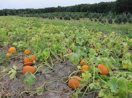 Pumpkin Patch Hayrides Lancaster Pa by N J Pumpkin Picking 2016 20 Places To Pick Straight Off The Vine