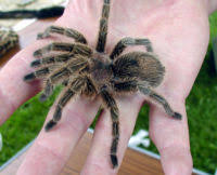 how to care for your chilean rose tarantula pethelpful