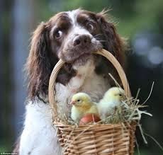 Springer Spaniel Shed Hunting by English Springer Spaniel Pictures Dog Breeds Puppies Special