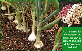 how to grow onions in new gardening tips and advice for