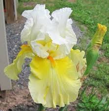 612 best real bearded irises as golden as sunlight which one