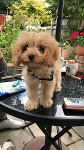 Do Cavapoos Shed A Lot by 24 Best Cavapoo Cockapoo Images On Pinterest Animals Baby