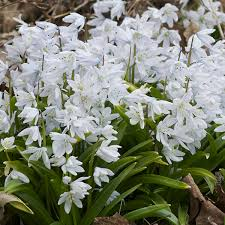 specialty bulbs item 6020 snowdrops for sale