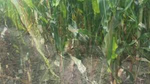Pumpkin Patch Utah South Jordan by Missing In The Maize Corn Mazes Offer Family Fun The Blade